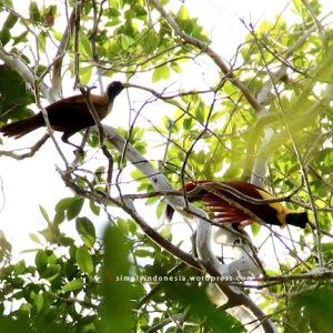 Cendrawasih Merah (Paradisaea Rubra) 1