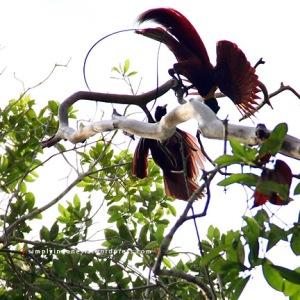 Cendrawasih Merah (Paradisaea Rubra) 3