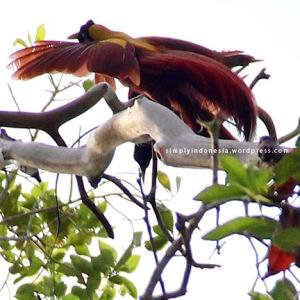 Cendrawasih Merah (Paradisaea Rubra) 4