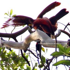 Cendrawasih Merah (Paradisaea Rubra) 5