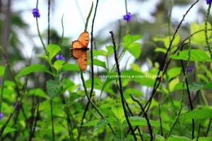 Tanaman pengundang Kupu-kupu