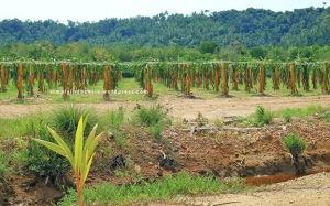 Area budidaya Buah Naga Pahawang 1