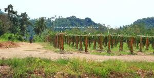 Area budidaya Buah Naga Pahawang 2