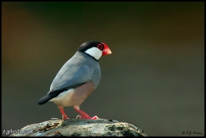 Burung Java Sparrow (Padda Oryzivora)