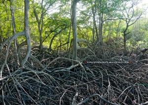 Mangrove Baluran