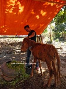 Anak kuda Sumbawa