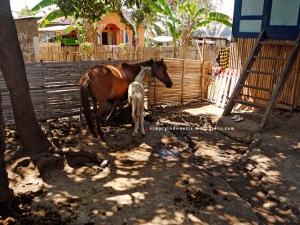 Induk dan Anak Kuda Sumbawa