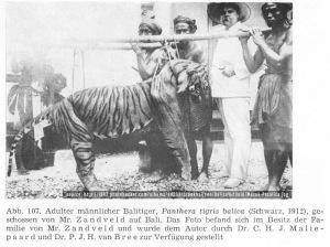 Harimau Bali (Panthera Tigris Balica), tahun 1912
