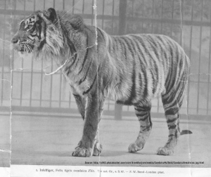 Harimau Jawa (Panthera Tigris Javanica atau Sondaica)