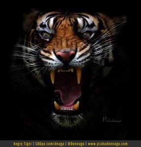 Harimau Sumatra (Panthera Tigris Sumatrae)