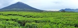 Panorama Perkebunan Teh Kayu Aro berlatar belakang Gunung Kerinci